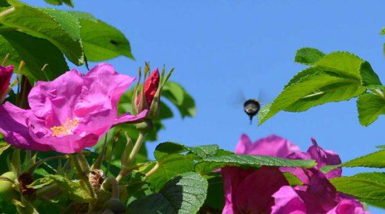 Bumblebee Survey