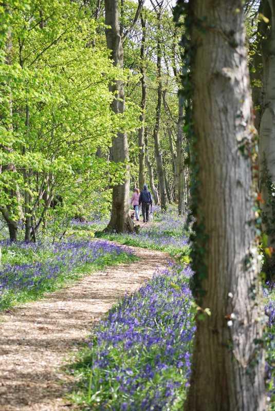 Bluebells on Moss Wood Caravan Park Woodland Walk