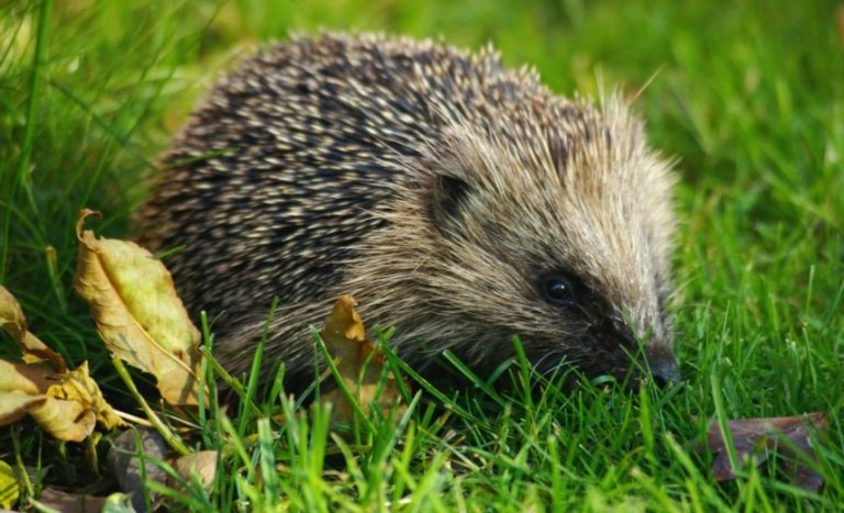 Feeding Hedgehogs at Moss Wood Caravan Park in Cockerham