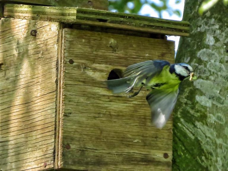 Moss Wood Blue Tit Bird Box