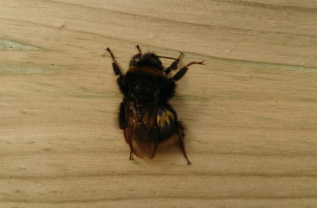Big Bumblebee at Moss Wood Caravan Park