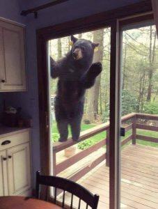 Bear peering in patio window