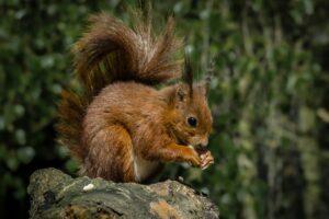 Red squirrel lancashire